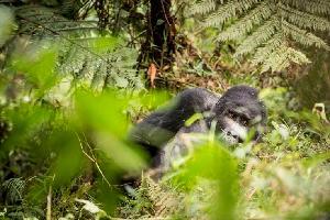 Ouganda & Rwanda - Des gorilles en liberté